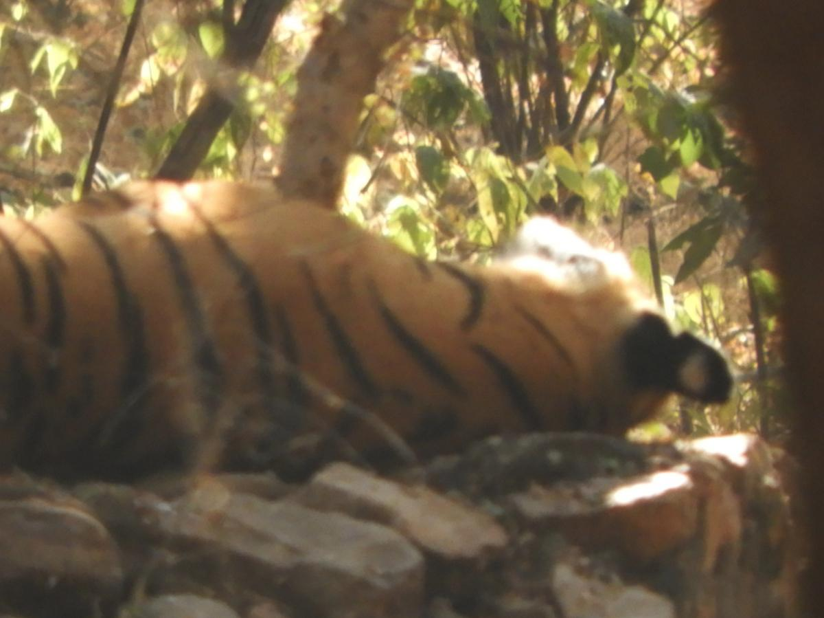 Tigress 'Arrowhead' in Ranthambore National Park