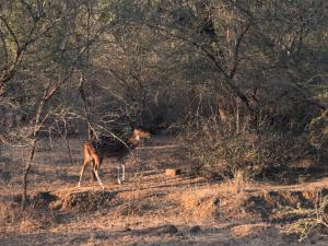 Spotted Deer (Cheetal)  in Ranthambore National Park