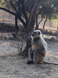Hanuman Langur  in Ranthambore National Park