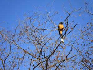Rufous Treepie  in Ranthambore National Park